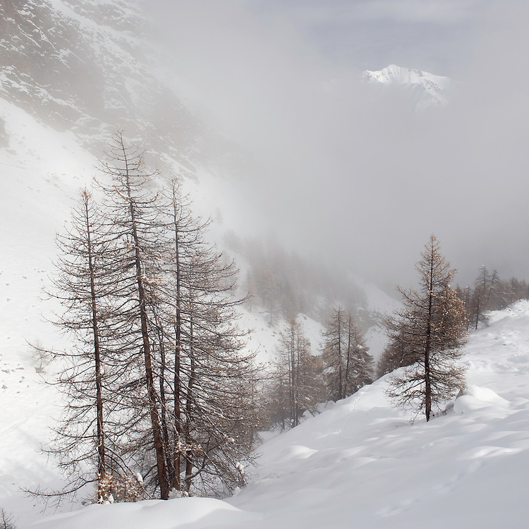 13.11.2008.Alpine landcape with European Larch (Larix decidua) and fog..Gran Paradiso National Park, Italy