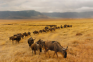 a long z-shaped line of wildebeest at the bottom of Ngorongoro crater in the Ngorongoro Conservation Area (NCA), tanzania, africa