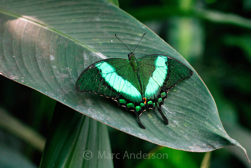 A beautiful Green Barred Swallowtail Butterfly (papilio palinurus), Bohol, Philippines