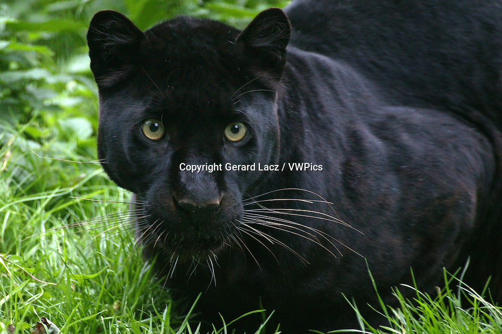 Black Panther, panthera pardus, Portrait of Adult
