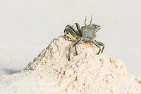 Ghost Crab (ocypode ceratophthalma) clearing it burrow of sand at low tide, D'Arros Island and St Joseph Atoll, Amirantees, Seychelles,