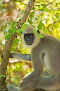 Alberto Carrera, Gray Langur, Hanuman Langur, Semnopithecus entellus, Udawalawe National Park, Sri Lanka, Asia