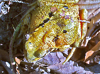 Macro shot of a yellow/green toad awakening ready for spring.