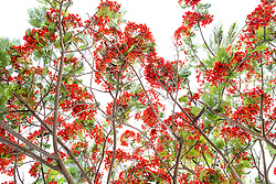 Royal Poinciana Tree Delonix Regia #19