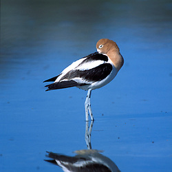 A male American Avocet, Recurvirostra americana, in a salt water pool on Antelope Island State Park in Utah's Great Salt Lake.  Syracuse, UT