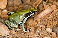 Mantella viridis, Madagascar<br /> Statut IUCN : Critically Endangered