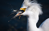 A juvenile snowy egret with his breakfast