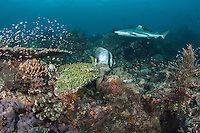 "A Blacktip Reef Shark cruises along a healthy hard coral reef.<br /> <br /> Shot at Cape Kri, Raja Ampat Islands, W. Papua Province, Indonesia<br /> <br /> Cape Kri is one of the ""fishiest"" dives in the world.  Given its protection in the Raja Ampat Marine Protected Area, as well as its proximity to a resort that does a great job of ""policing"" the adjacent areas, this reef is among the healthiest in the Coral Triangle."