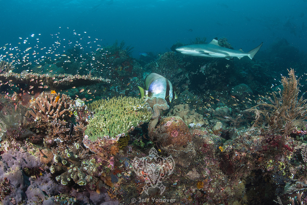 """A Blacktip Reef Shark cruises along a healthy hard coral reef.<br /> <br /> Shot at Cape Kri, Raja Ampat Islands, W. Papua Province, Indonesia<br /> <br /> Cape Kri is one of the """"fishiest"""" dives in the world.  Given its protection in the Raja Ampat Marine Protected Area, as well as its proximity to a resort that does a great job of """"policing"""" the adjacent areas, this reef is among the healthiest in the Coral Triangle."""