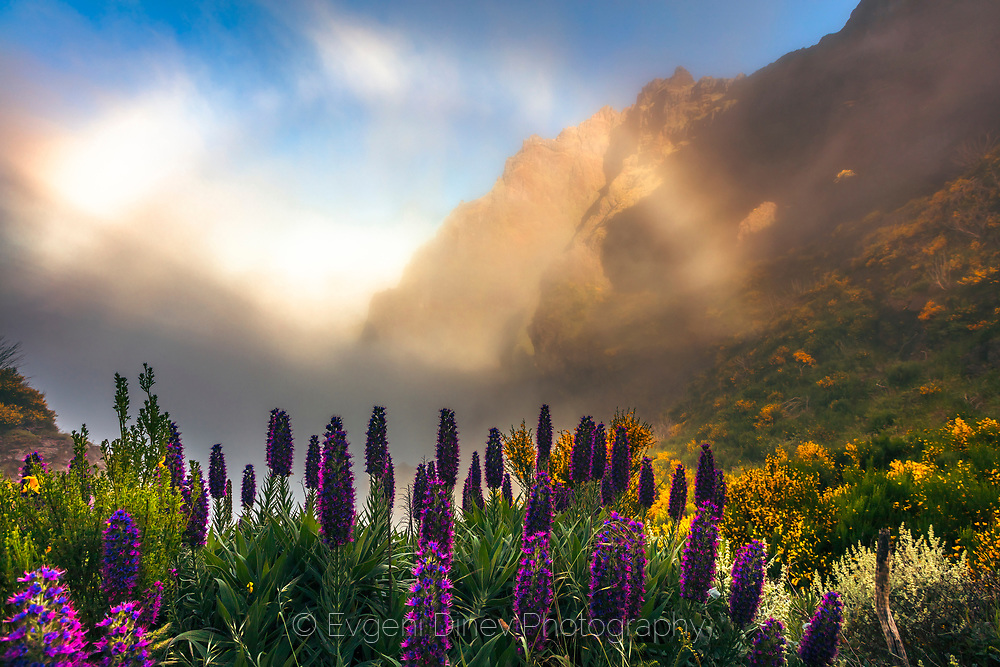 Violet flowers of Madeira
