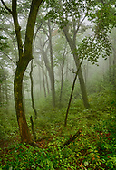 Trees in morning fog on Blue Ridge Parkway