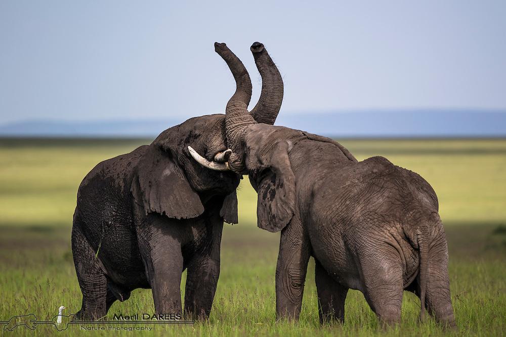 Elephant bulls sparing. Masai Mara, Kenya.