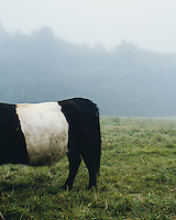 Belted Galloway cow along the central coast of Maine. The Belted Galloway are a heritage beef breed of cattle which are primarily raised for their quality marbled beef and adaptability to living on poor quality pastures. And because they look like an Oreo cookies. Photo by @justin_bailie.