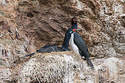 Imperial cormorants nest along a cliff in Puerto Hoppner, Isla de los Estados, Argentina.