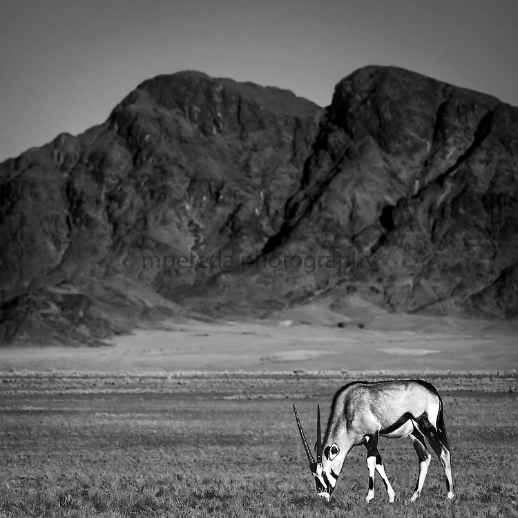 Orix in the Namib Naukluft National Park