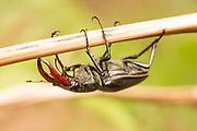 Stage beetle (Lucanus cervus) suspended from bracken stem. Surrey, UK.