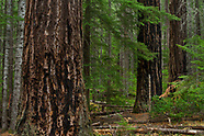Umpqua Old Growth