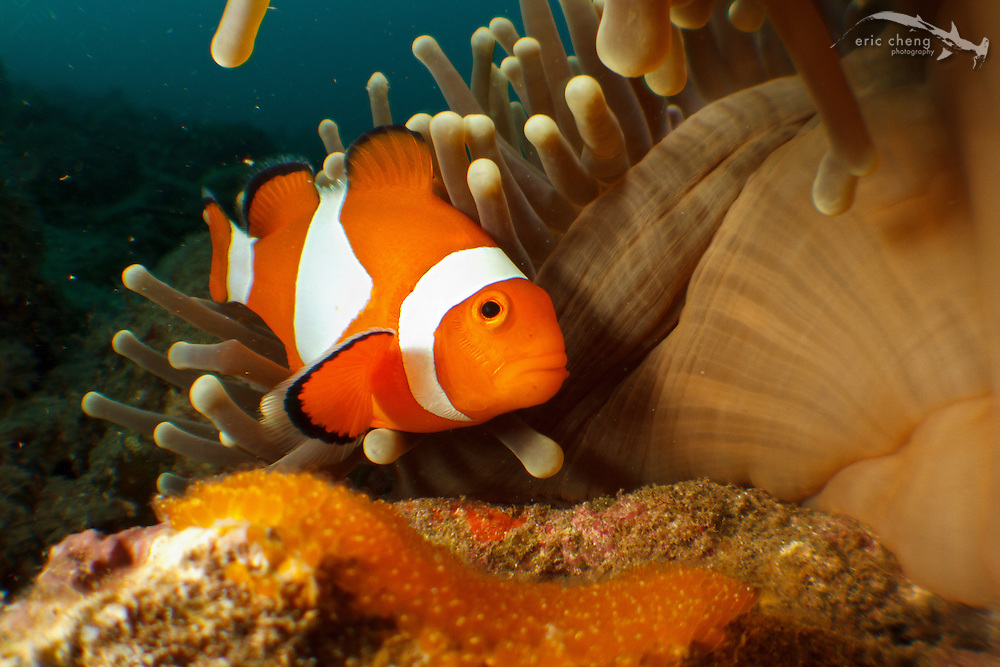 A false clown anemonefish (Amphiprion ocellaris) aerates and cleans her eggs next to her host anemone. Ambon, Indonesia.