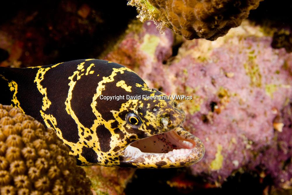 Chain moray eel, Echidna catenada, Bonaire, Netherlands Antilles, Caribbean.
