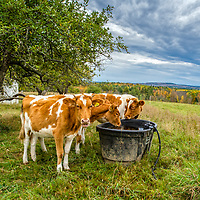 Cows in the field at Shaker Village.  All Content is Copyright of Kathie Fife Photography. Downloading, copying and using images without permission is a violation of Copyright.