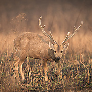 Deer of Thailand