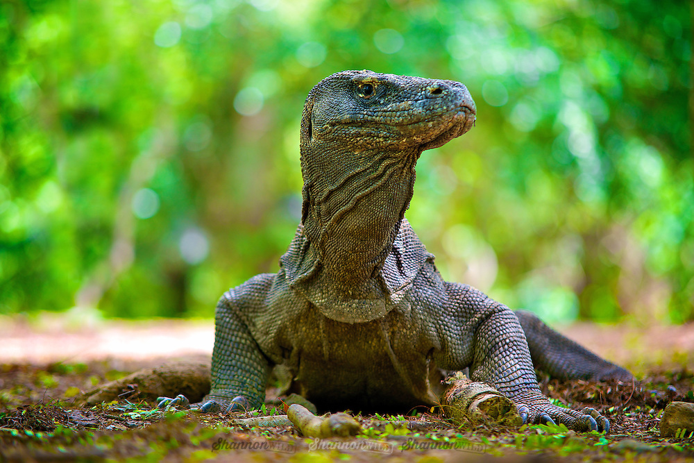 The Komodo dragon (Varanus komodoensis), also known as the Komodo monitor, is a large species of lizard found in the Indonesian islands of Komodo, Rinca, Flores, Gili Motang, and Padar. A member of the monitor lizard family (Varanidae), it is the largest living species of lizard, growing to a maximum length of 3 metres (10 ft) in rare cases and weighing up to approximately 70 kilograms (150 lb).