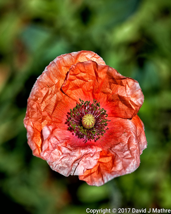 Red Poppy flower. Backyard spring nature in New Jersey. Image taken with a Fuji X-T2 camera and 60 mm f/2.4 macro lens (ISO 200, 60 mm, f/4, 1/3800 sec).