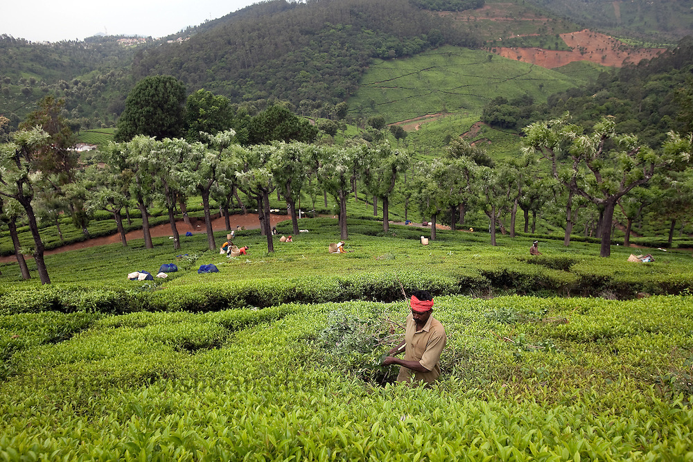 A worker removes weeds inbetween coffee shrubs at a Tea estate in Conoor, India, on Friday May 21, 2010. Photographer: Prashanth Vishwanathan/Bloomberg News