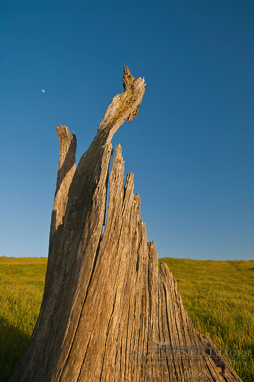 Broken jagged tree stump and moon, Sunol Regional Wilderness, Alameda County, California