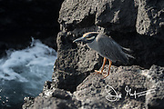 A Yellow-crowned night heron stands on a rock on Genovesa island, part of the Galapagos archipealgo of Ecuador.