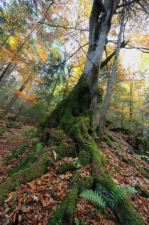 Roots of a beech covered with moss in Valea Crapaturii, National Park Piatra Craiului, Transylvania, Southern Carpathians, Romania