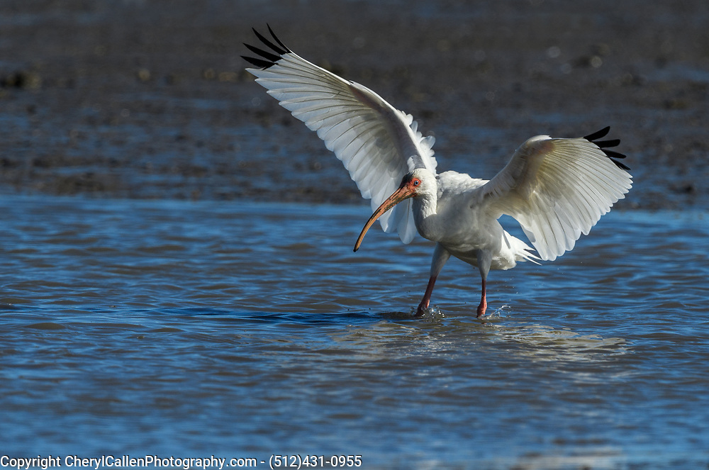 White Ibis landing in the water
