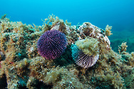 Ourchin-oursin violet (Sphaerechinus granularis) Pico Island, Azores Archipelago.