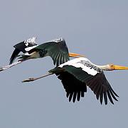 Pair of Painted Storks, Mycteria leucocephala, in flight over Petchaburi, Thailand.