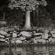 Tree on Housatonic River, Derby, CT