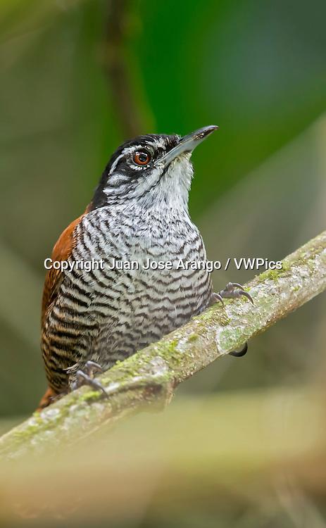 Bay Wren (Cantorchilus nigricapillus), Anchicaya, Valle del Cauca