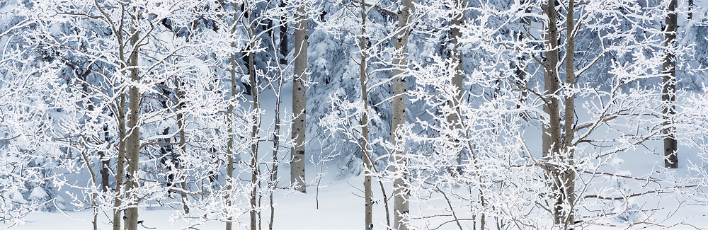 Aspen Trees in Snow, New Mexico