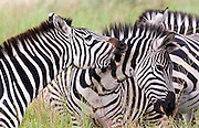 Zebras biting, Tarangire National Park, Tanzania