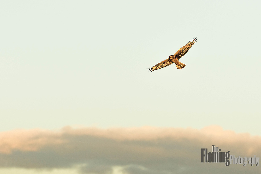 Northern Harrier flying overhead in Northren California