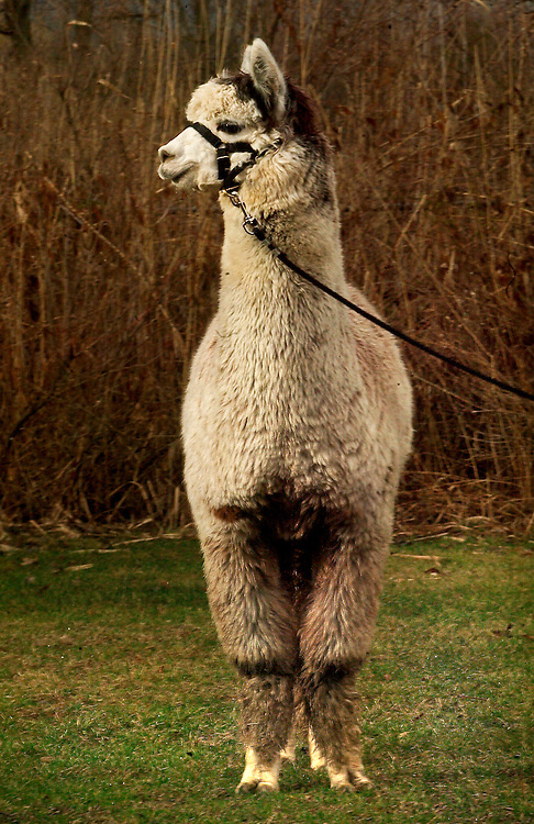 "(PSTORE) Little Silver 03/09/2004   ""Highlander"" an Alpaca owned by Shawn Takacs 148 Winding Way in Little Silver NJ  732-758 0456.  Michael J. Treola Staff Photographer..M JT"
