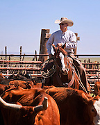 Mark Bukowski sorts the Corriente cattle belonging to the North Pueblo Ranch in Colorado on horse back.