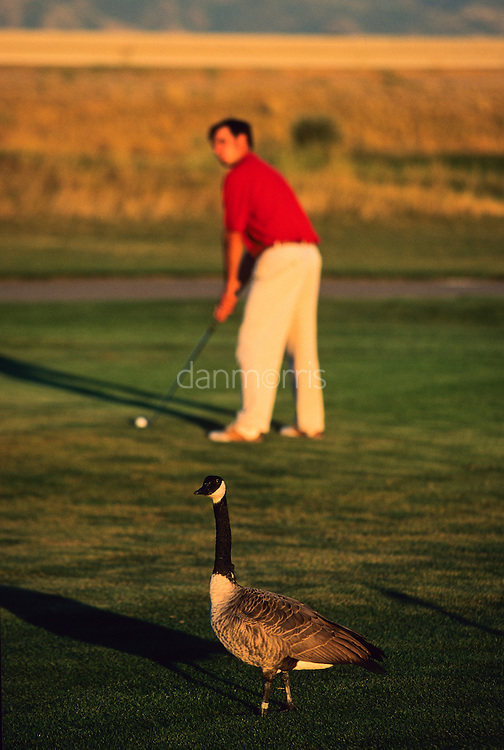 Canadian goose guards as golfer prepares his shot, Wingpointe Golf Course, Utah