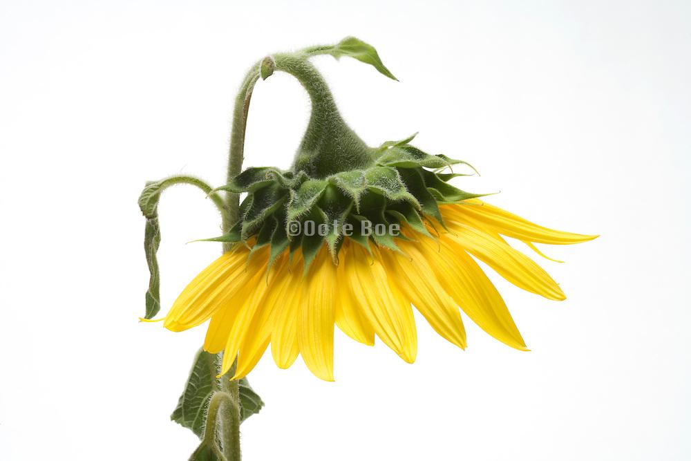sunflower head hanging down