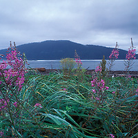 Canada, British Columbia, Port Renfrew,  Fireweed (Epilobium angustifolium) blooms in tall grass on Vancouver Island