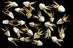 Field eryngo (Eryngium campestre) - Mannstreu oder Krausdistel