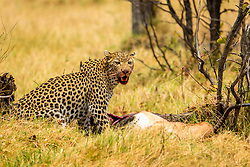 , Botswana - 10/27/2015 - Leopard (Panthera pardus) eating an Impala kill in Moremi Game Reserve, Botswana(Photo by Shannon Wild/VWPics) *** Please Use Credit from Credit Field *** *** Please Use Credit from Credit Field ***