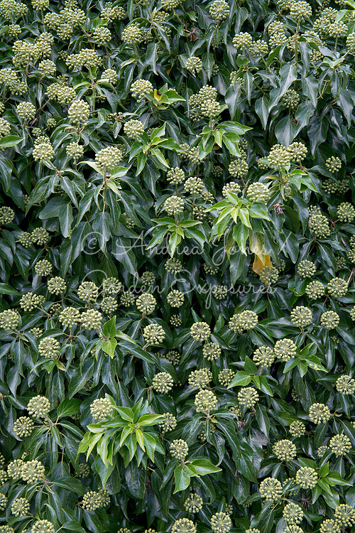 Hedera helix (common ivy) in flower