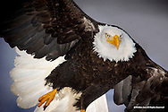 Bald Eagle<br /> Kachemak Bay, Alaska<br /> <br /> This eagle flew directly towards me, going over my head, no more than 12 feet away, when I made this image,
