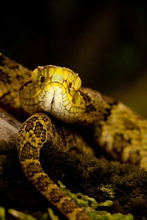 Pit viper, Botrhocophias punctatus, in the Choco Department of Colombia
