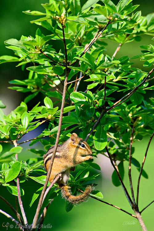 """This eastern chipmunk (Tamias striatus) is eating while perched on a small tree branch in Mount Auburn Cemetery, Cambridge, Massachusetts.  Although they climb trees well, it is rare to see them on such small branches.  They generally construct underground nests with extensive tunnel systems, and several entrances.  To hide the construction of its burrow, the eastern chipmunk carries soil away from its hole in its cheek pouches.  The eastern chipmunk is the sole living member of the chipmunk subgenus Tamias, and is found only in eastern North America.  The name """"chipmunk"""" is derived from the Algonquian language meaning """"one who descends trees headlong.""""  The eastern chipmunk reaches 30 cm (12 in) in length including the tail, with a weight of 66–150 g (2.3–5.3 oz).  Interestingly, it has two fewer teeth than other chipmunks and four toes each on the front legs, but five toes on each of the hind legs.  They are mainly active during the day, consuming bulbs, seeds, fruits, nuts, green plants, mushrooms, insects, worms, and bird eggs.  The eastern chipmunk leads a solitary life, except during mating season. Females usually produce one or two litters of three to five young, usually from February to April and/or June to August. On average, eastern chipmunks live three or more years in the wild, although in captivity they may live up to eight years."""